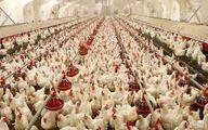 در ماه اول جوجهریزی به مرغداران خوراک نمیدهد